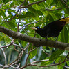 Yellow-rumped Cacique - Yellow-rumped Cacique with yellow beak and yellow tail