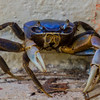 Blue land crab - This crab is ready to fight