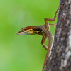 Basilisk Lizard - Small (young) Basislisk Lizard with long legs and a yellow stripe.