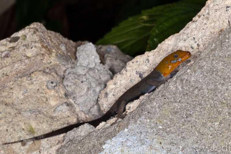 Yellow-headed gecko. - Yellow-headed gecko warming itself on the ruins of an abandoned building in the jungle of Colon, Panama.