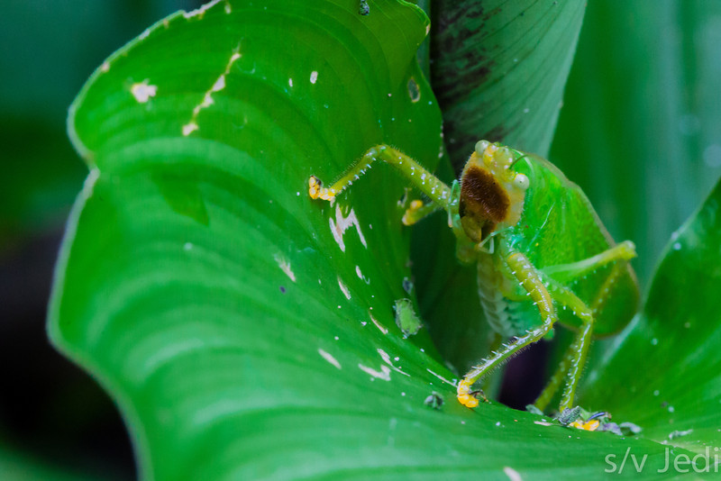 Katydid - These insects are masters at disguise