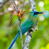 Motmot in El Valle de Anton - Motmot with nest building material.
