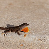 Anole lost it's tail - A brown Anole without his tail but with orange yellow dewlap very visabel