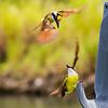 Fighting Great Kiskadees - Great Kiskadees fighting for a nest location.