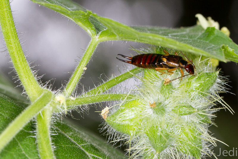 Rove Beetle - Rove Beetle on hairy flower at Fort Bellefonte, PA