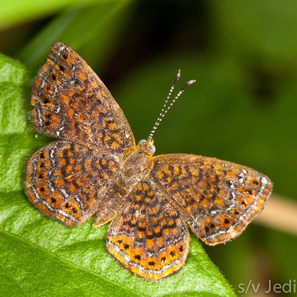 Hermodora Metalmark butterfly in the Panamanian jungle. - Macro of the Hermodora Metalmark butterfly in the Panamanian jungle in the San Lorenzo reserve, Colon province, Republic of Panama.