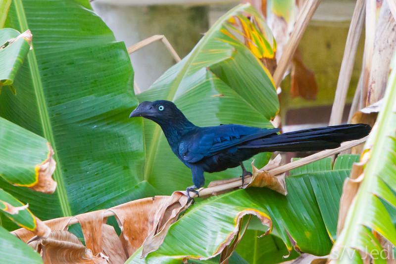 Smooth billed Ani in Banana tree. - Blue black Ani at Fort Sherman, Colon, Panama.