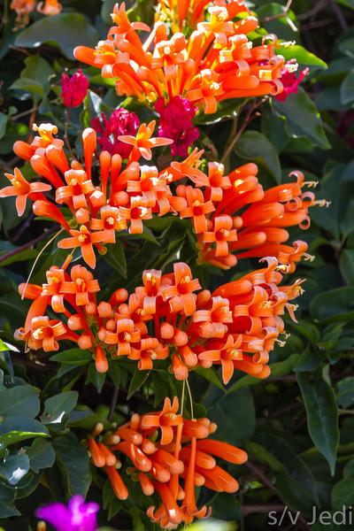 Orange flowers - Bright orange flowers in El Valle de Anton