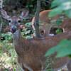 Deer licking nose - Deer licking nose in woods in Pennsylvania