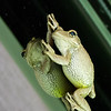Cuban Tree Frog - Cuban tree frog and his mirrow image on the window of an RV in Charlestown