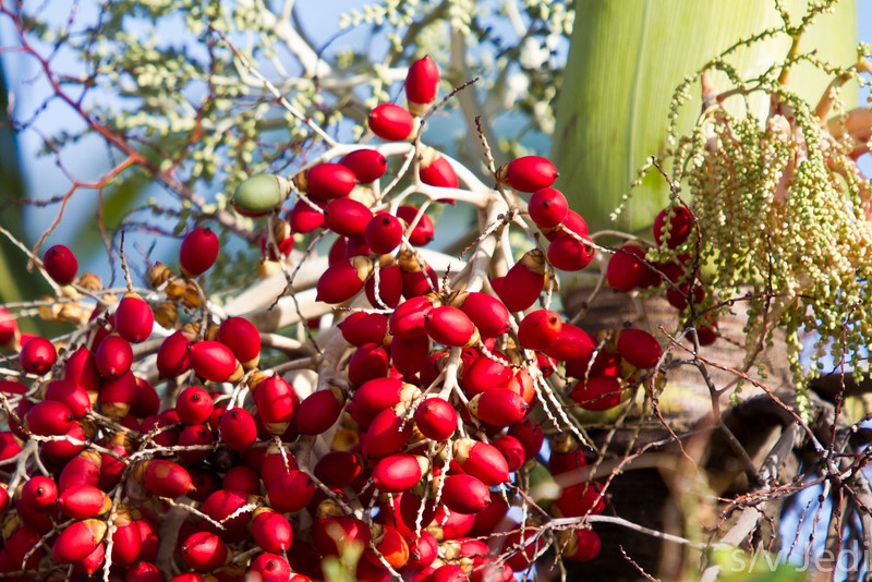 Red tropical berries. - Red tropical berries are the fruit of the Christmas Palm tree as shown here in the rainforest of Panama.