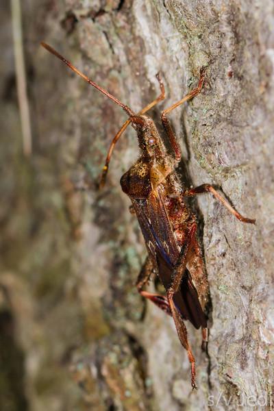 Stink bug - Abrown orange stink bug climbing a tree.