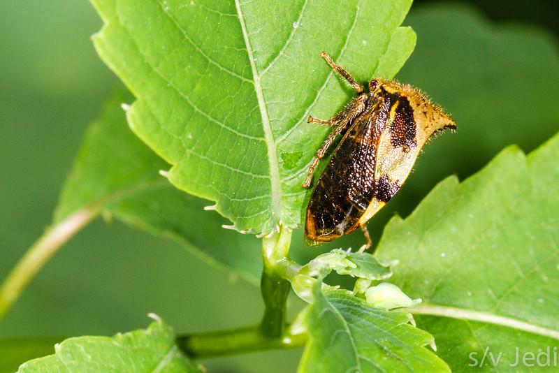 Buffalo Treehopper - Buffalo Treehopper on green leave at Fort Bellefonte , PA