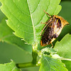 Buffalo Treehopper - Buffalo Treehopper on green leave at Fort Bellefonte , PA