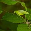 Green katydid - Green katydid hidding between the leaves, great camouflage.