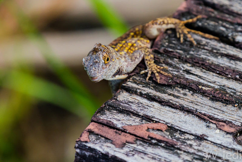 Anole with yellow spots - Anole with yellow rimmed eyes and yellow spots in Charlestown, South Carolina.