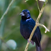 Blue & Black Grosbeak - Deep blue with a lighter colored beak