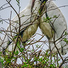 Wood Stork - St. Augustine, Florida, USA