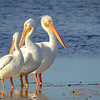 White Pelican, Sanibel Island, Florida