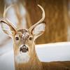 Whitetail Deer, Buck