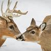 Whitetail Deer, Buck & Doe