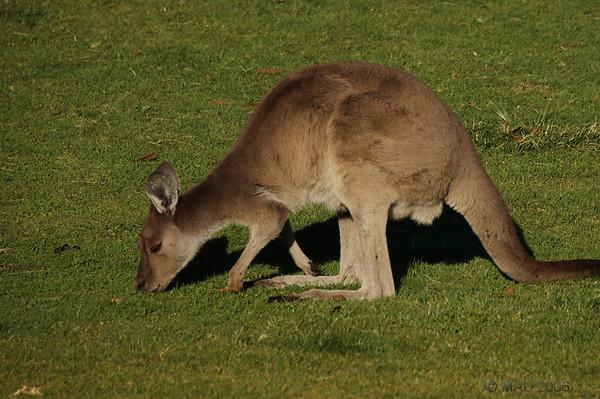 Canguros - Kangaroos