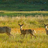 Whitetail Deer - Custer State Park, South Dakato