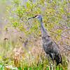 Sandhill Crane - Okefenokee Natural Wildlife Refuge, Georgia, USA
