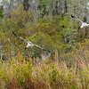 Wood Stork - Okefenokee Natural Wildlife Refuge, Georgia, USA
