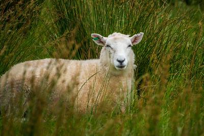 Farewell Spit Sheep