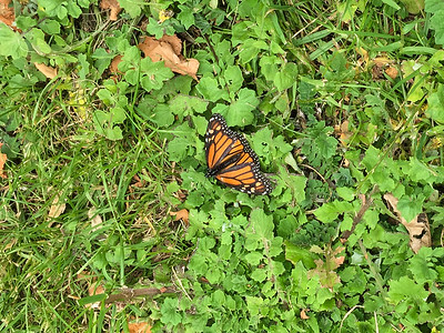 Monarch Butterfly (Monarchfalter)