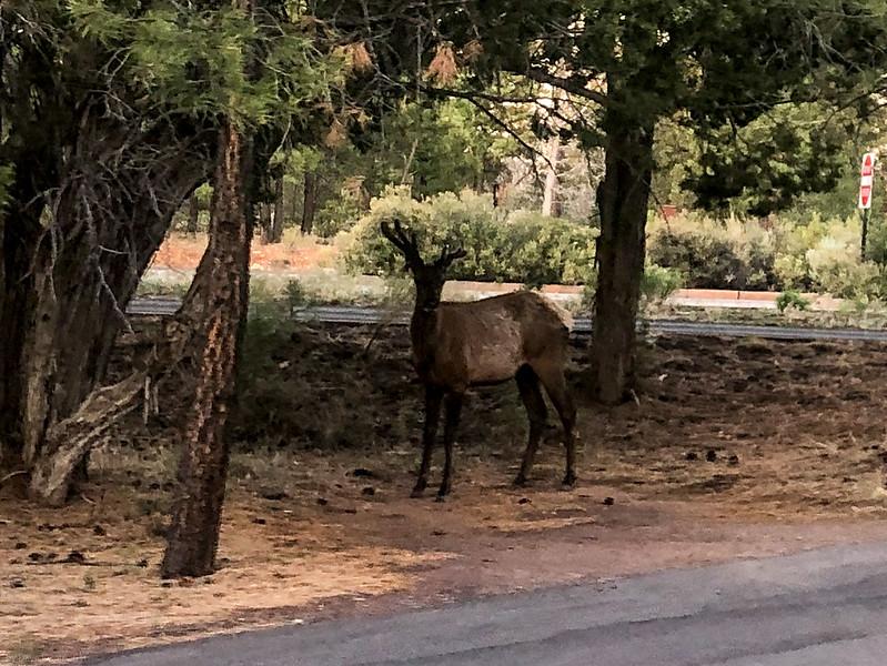 Wild Elk, Grand Canyon Village, AZ