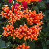 Orange flowers - Bright orange flowers in El Valle de Anton