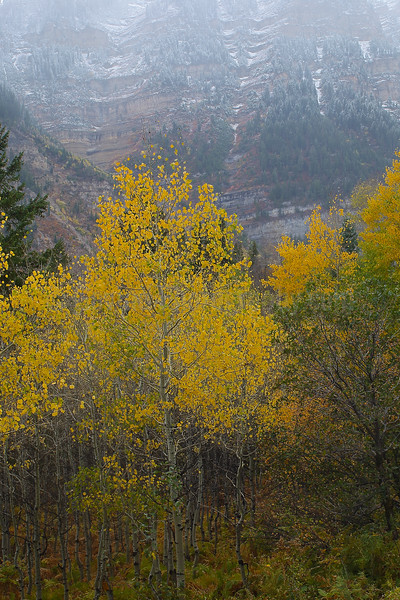 Fall Aspen on Uinta Mountains