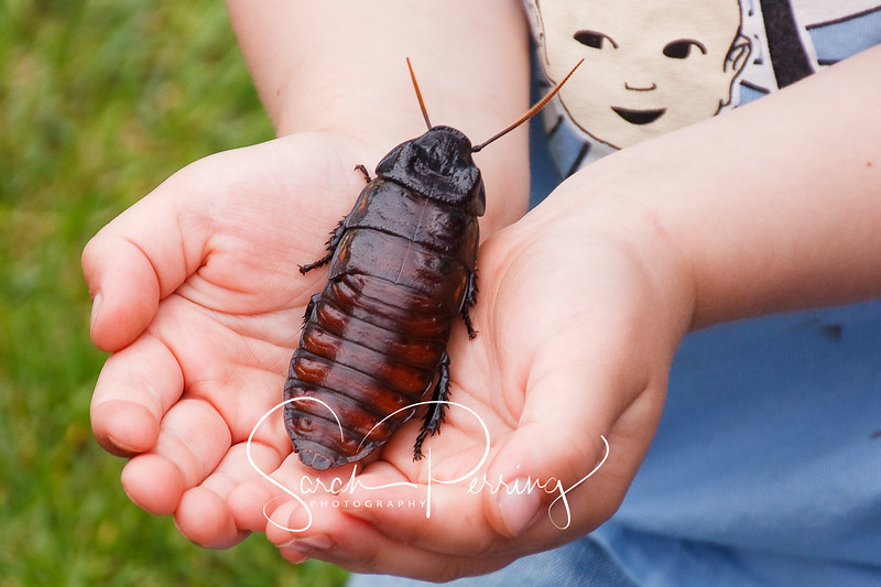 South American Cockroach