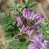 Kaasjeskruiddikkopje; Carcharodus alceae; Mallow skipper; Hespérie de l'alcée; Grisette; MalvenDickkopffalter