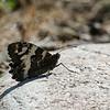 Witbandzandoog; Brintesia circe; Great banded grayling; Silène; Weißer Waldportier; Languedoc