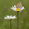 Hooibeestje; Coenonympfa pamphilus; Le Procris; Kleines Wiesenvögelchen; Small Heath