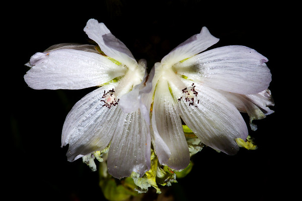 White checkerbloom (Sidalcea candida), Great Basin National Park, White Pine County, Nevada