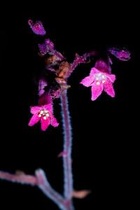 Coralbells (Heuchera sanguinea), Chiricahua National Monument, Cochise County, Arizona
