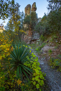 Sierra Madre Yucca (Yucca madrensis), Sarah Deming trail, Chiricahua National Monument, Cochise County, Arizona