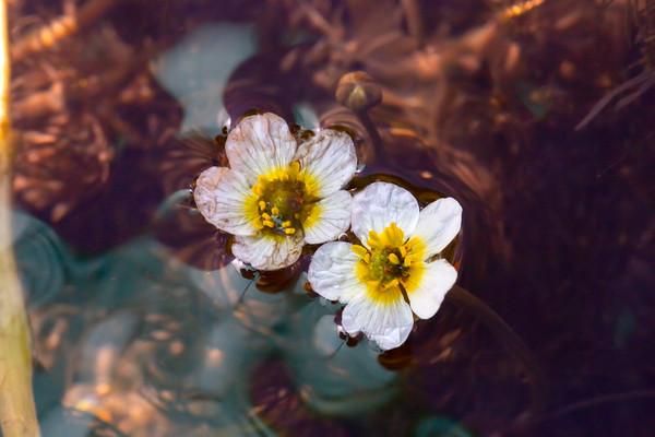 Ranunculus aquatilis (White water-crowfoot), Kingston Creek, Toiyabe National Forest, Landers County, Nevada