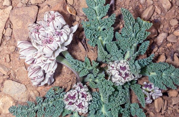 Widewing Spring-parsley (Cymopterus purpurascens), Emery County, Utah