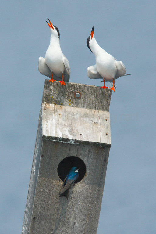 Forster's Terns Greeting Each Other on Landing