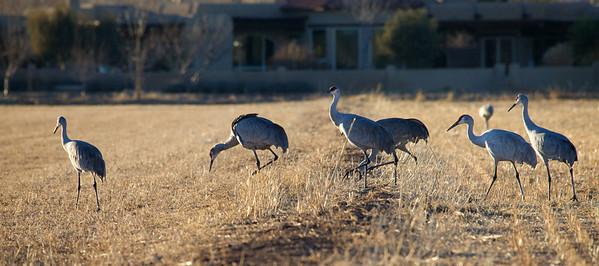 Cranes • Albuquerque