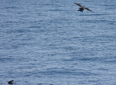 Cassin`s Auklet, Peregrine Falcon San Diego Waters 2011 01 29-3.CR2