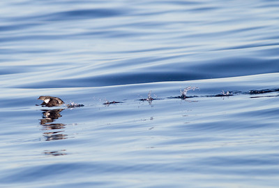 Cassin`s Auklet  San Diego waters  2012 12 07 (1 of 2).CR2