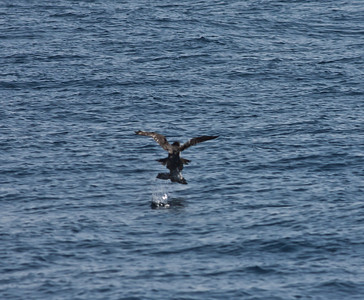 Cassin`s Auklet, Peregrine Falcon San Diego Waters 2011 01 29-1.CR2