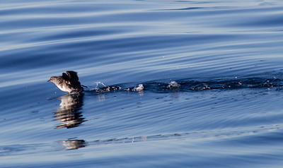 Cassin`s Auklet  San Diego waters  2012 12 07 (2 of 3).CR2