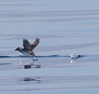 Cassin`s Auklet   Orange County Waters  2014 01 11-1684.CR2
